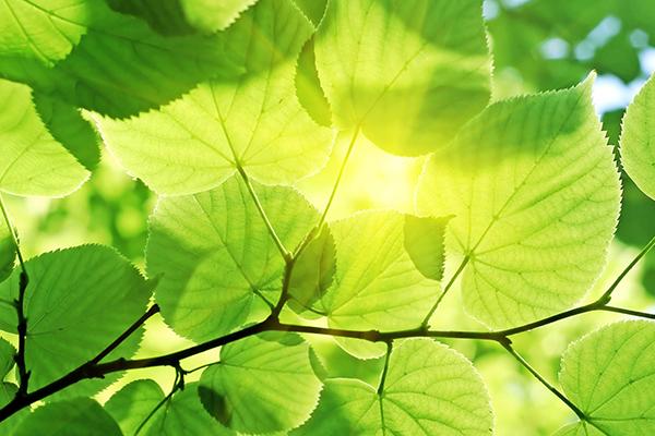 Sunny leaves 600x400